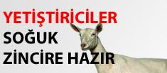 İzmirli Koyun Keçiciler Sütte Soğuk Devrime Hazır