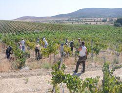 Şaraplık Üzüm Üreticisi Yine Perişan