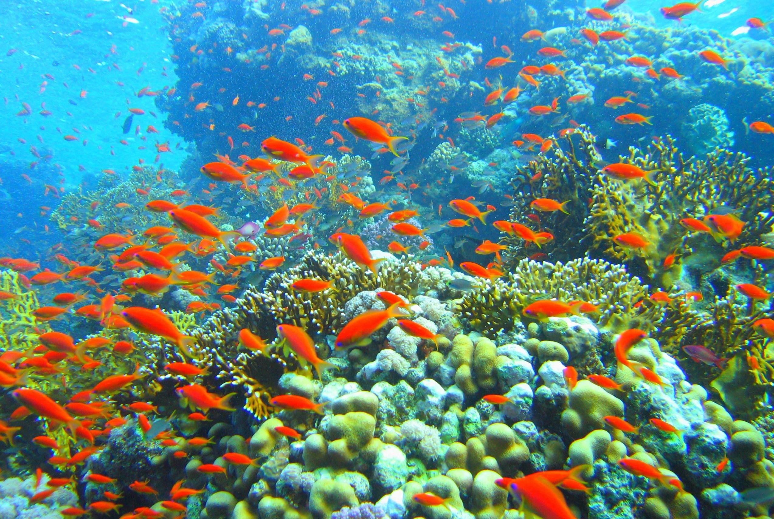 Coral_reef_in_Ras_Muhammad_nature_park_Iolanda_reef